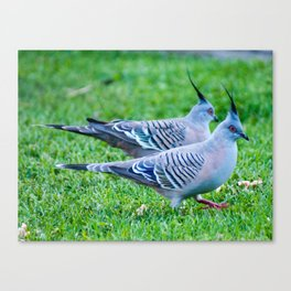 Pair of Crested Turtle Doves Canvas Print