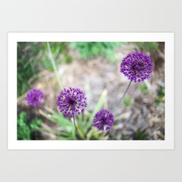 Purple Allium Art Print