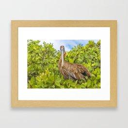 Big Pelican at Tree, Galapagos, Ecuador Framed Art Print