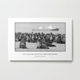 Seal Colony by Pelican Point Metal Print
