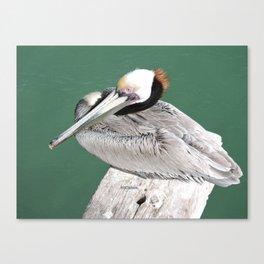Brown Pelican near Avila Beach Canvas Print