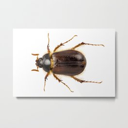 "Cockchafer or june beetle ""Amphimallon solstitialis"" species Metal Print"