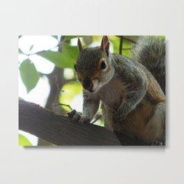 Dirty nose squirrel Metal Print