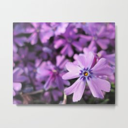 Pretty Purple Flowers (Phlox) Metal Print