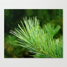 White pine branch Canvas Print