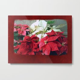 Mixed color Poinsettias 3 Blank P5F0 Metal Print