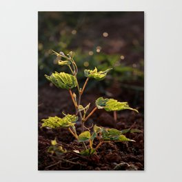 Grape leaf in morning time Canvas Print