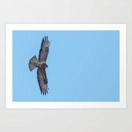 Common Buzzard (Buteo buteo) in flight  blue sky Art Print