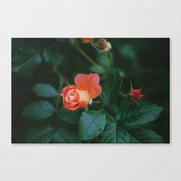 Joseph's Coat Rose Matte Canvas Print