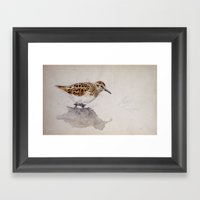 Least Sandpiper Framed Art Print