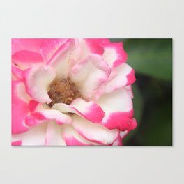 WHITE AND PINK FLOWER Canvas Print