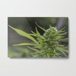 Cannabis 1 Metal Print