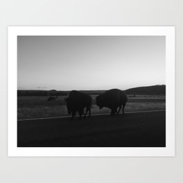 Courting Bison, Yellowstone National Park Art Print