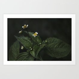 Botanical Still Life Chamomile Art Print