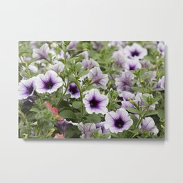bellflower in bloom in the garden Metal Print