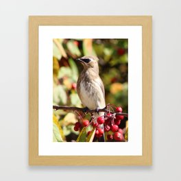 Cedar Waxwing in a Crab Apple Tree Framed Art Print