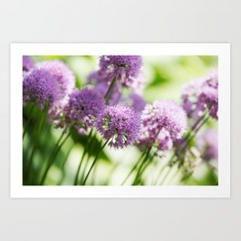 Allium - Onion Flowers 1 Art Print