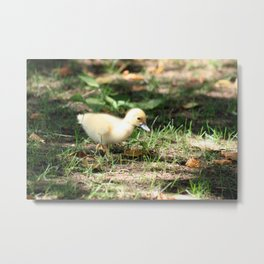 Baby Duckling strolling on a lawn Metal Print