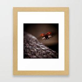 Ladybird in flight Framed Art Print