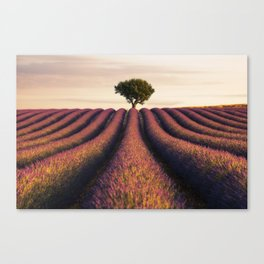 Lavender morning in Valensole Canvas Print