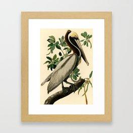 Brown Pelican (Pelecanus occidentalis) Scientific Illustration Framed Art Print