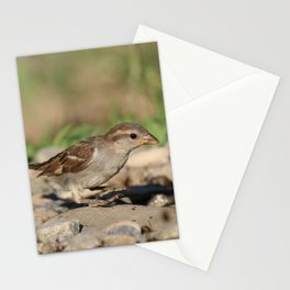 Young sparrow at watter Stationery Cards