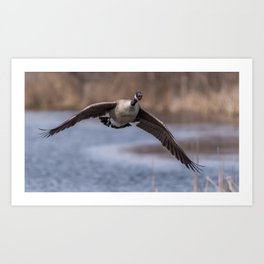 Canada Goose Flight Art Print