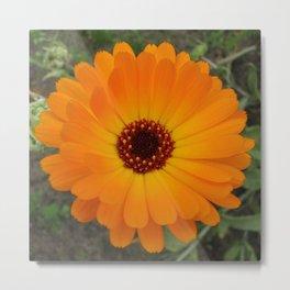 Orange Husbandman's Dial Marigold Flower Metal Print