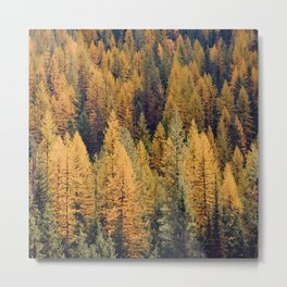 Autumn Tamarack Pine Trees Metal Print