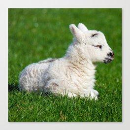 A Sleepy Newborn Lamb In A Field Canvas Print