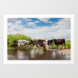 Herd of cows walking across pool Art Print