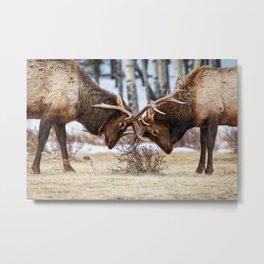 Elk In Rut Colorado Wildlife Rocky National Park Metal Print
