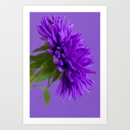 Close-up image of the flower Aster on purple background. Shallow depth of field. Art Print