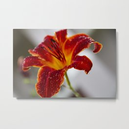 Red Lily Flower After the Rain Photograph Metal Print