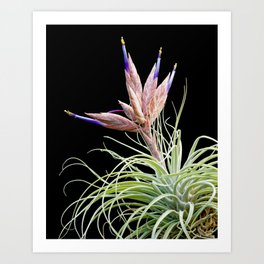 Dr Ropata, epiphyic airplant from Guatemala Art Print