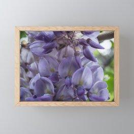 Wisteria sinensis in bloom Framed Mini Art Print