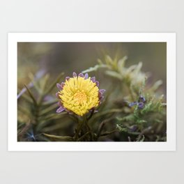 Macro: Coltsfoot (small yellow flower in daisy family) On Moss Art Print