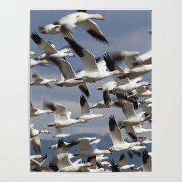 Snow Geese Taking Flight Poster