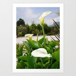 Three Cream Calla Lilies With Garden Background Art Print