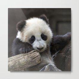 Baby panda climb a tree Metal Print