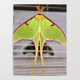 Easter Morning Visit From A Luna Moth Poster