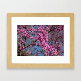 Blue skies and redbud in spring Framed Art Print