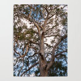 Scribbly Gum Tree Poster