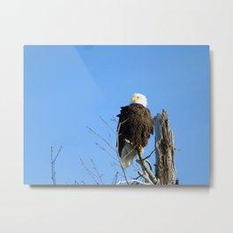 Bald Eagle - Closeup in Tree Metal Print
