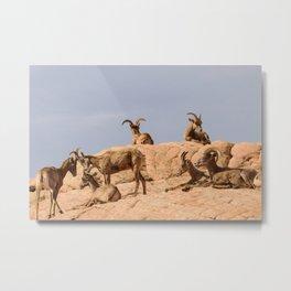 Seven Desert_Bighorn_Sheep - Valley_of_Fire, NV Metal Print