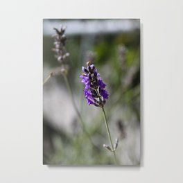 lavendar Metal Print