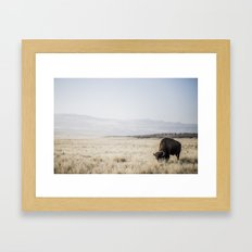 Bison Grazing Framed Art Print