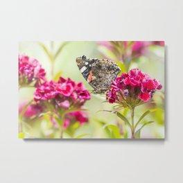 Butterfly Vanessa atalanta feeding on red flowers Metal Print