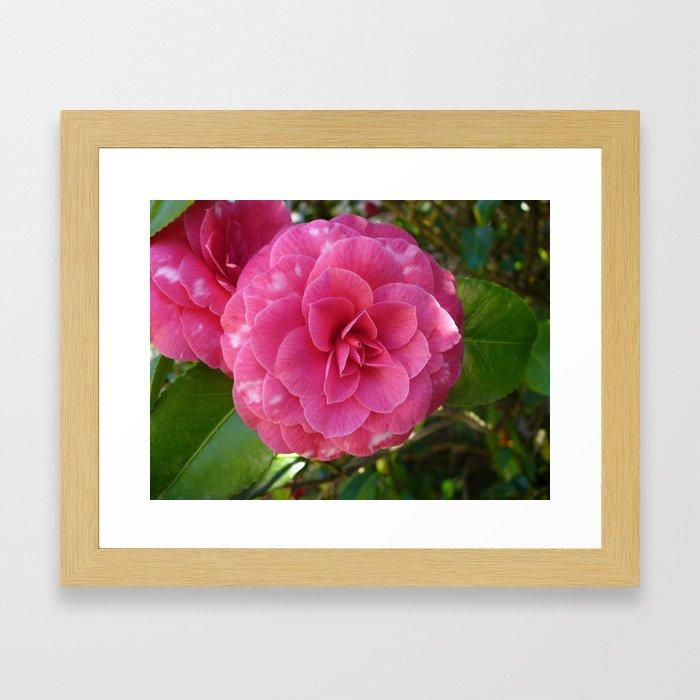 Pink Camellia Flower Framed Art Print