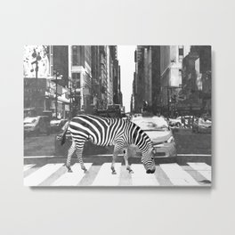Black and White Zebra in NYC Metal Print